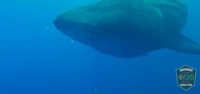 Riesiger Walhai