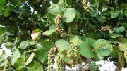 Traubenbaum