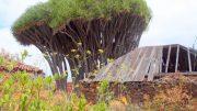 Drachenbaum in El Tablado