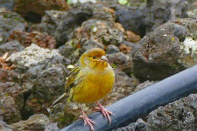 Singvogel - Kanarienvogel