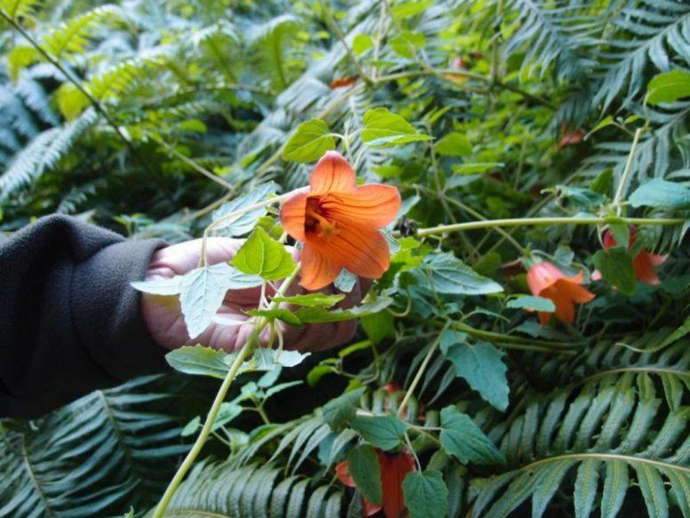 Endemische Pflanze - Kanaren Glockenblume