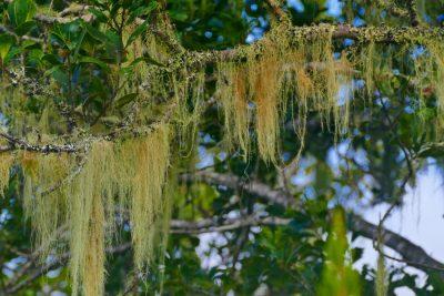 Bartflechte - Magische Wälder