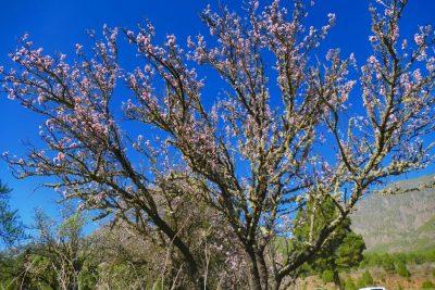 Mandelblüte - Vorzeichen