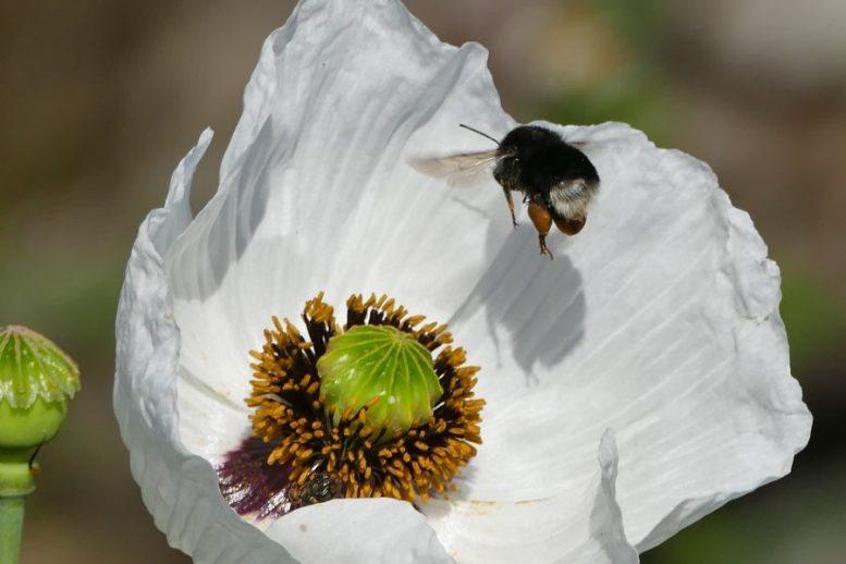 Blüte - Mohnblumen