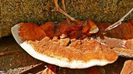 Pilzart- Zunderschwamm