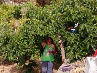 Maulbeerbaum - Maulbeerenernte